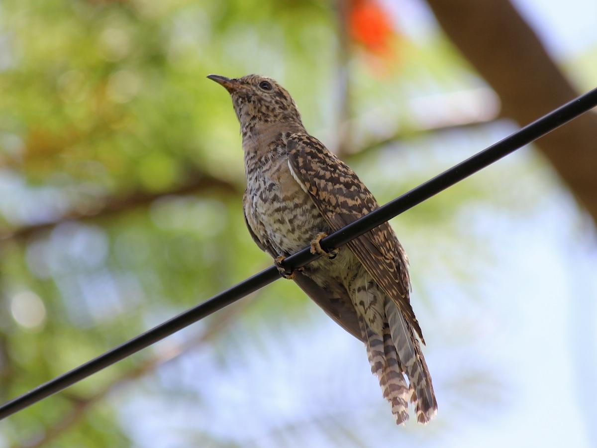 black-brown speckled bird