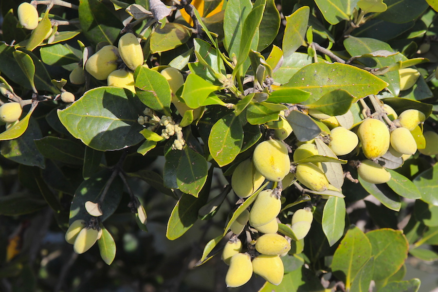 leaves and yellow berries
