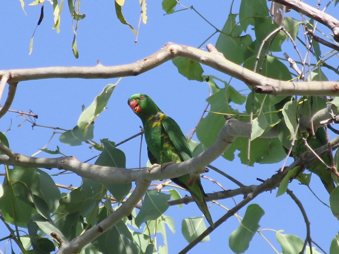 Green parrot in tree