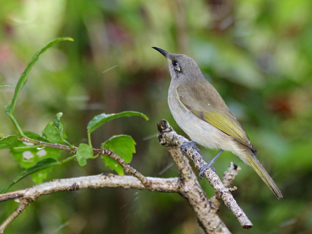 grey and olive bird on twig