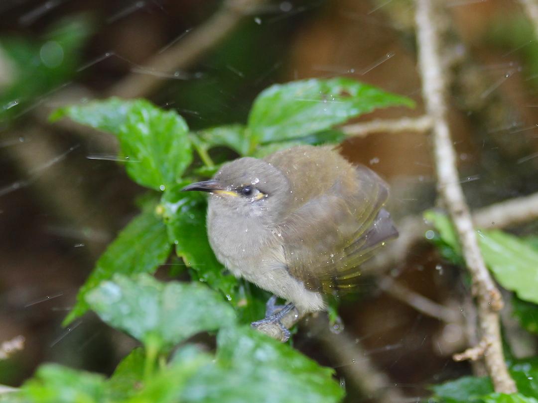 wet grey-green bird