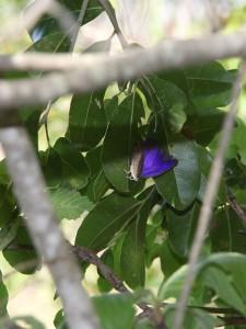 purple-blue butterfly