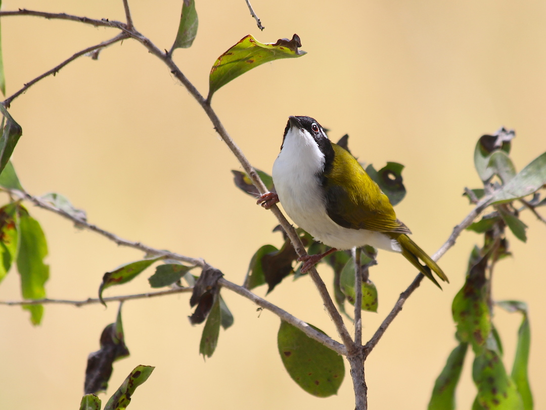 olive bird with white belly