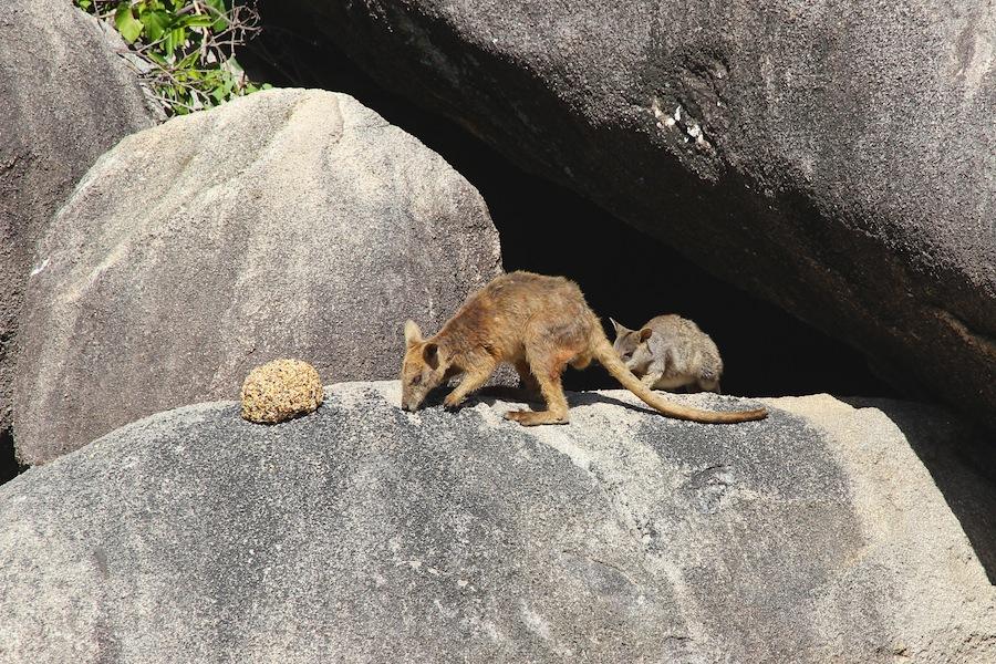 two wallabies on rock