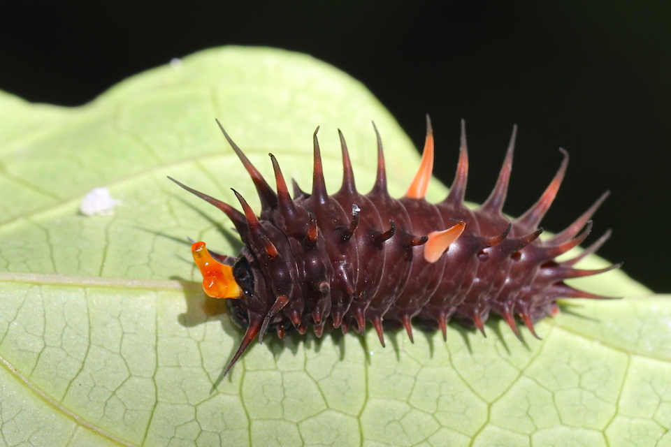 spiky black caterpillar with orange horns