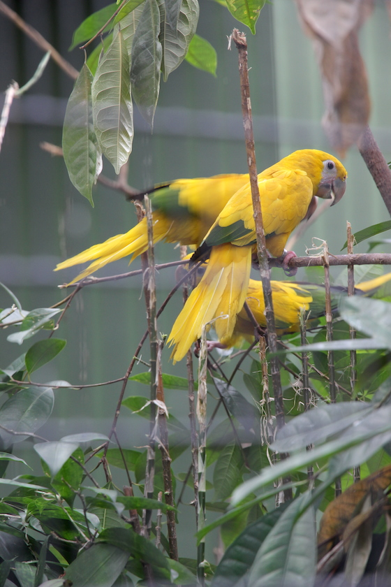 gold and green parrots