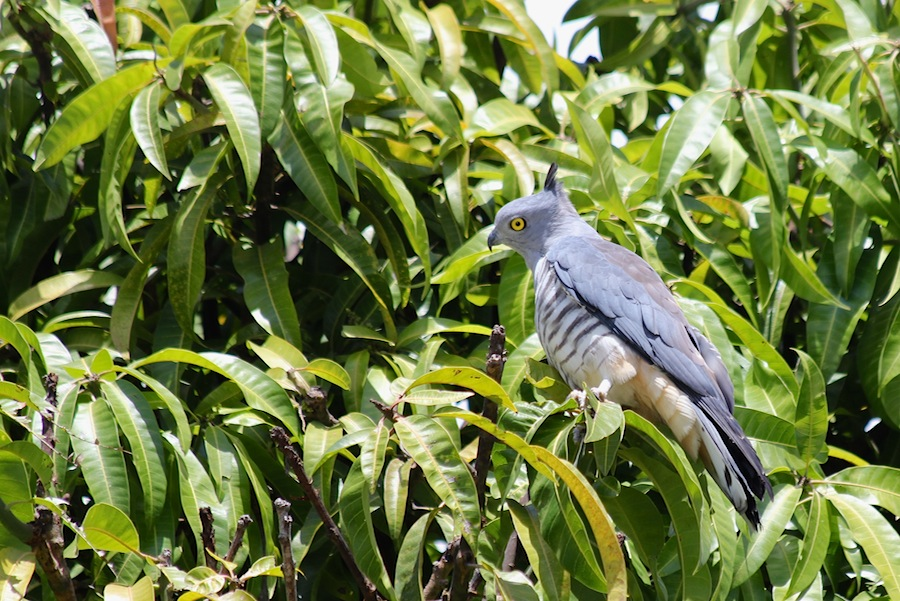 bird on mango tree