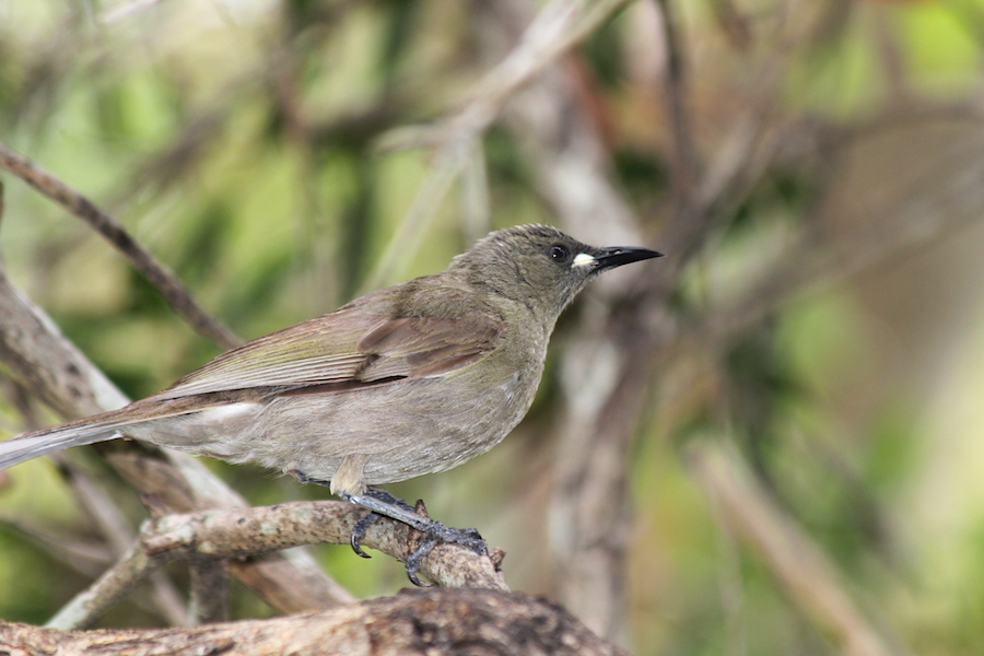 grey-brown bird