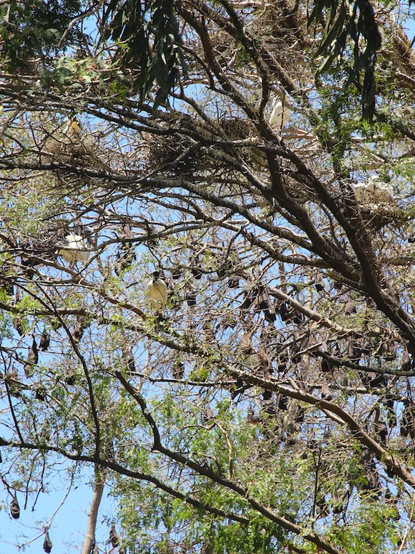 White Ibis amongst the flying foxes in the Palmetum