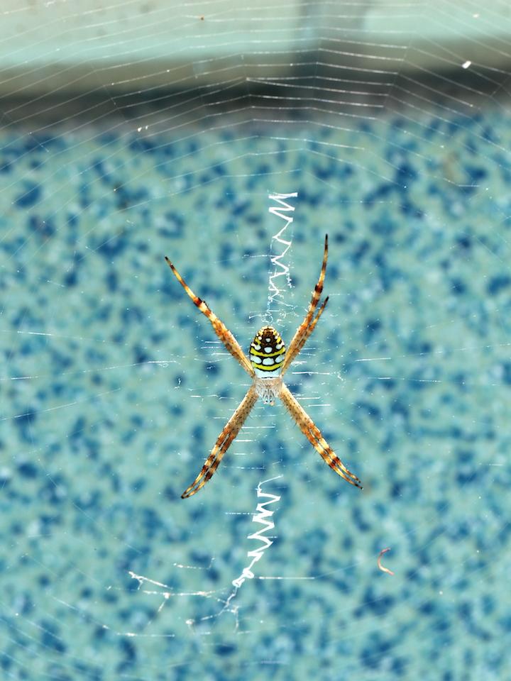 orange-brown spider in web