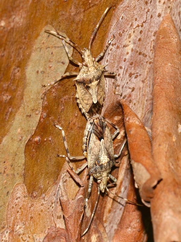 brown bugs