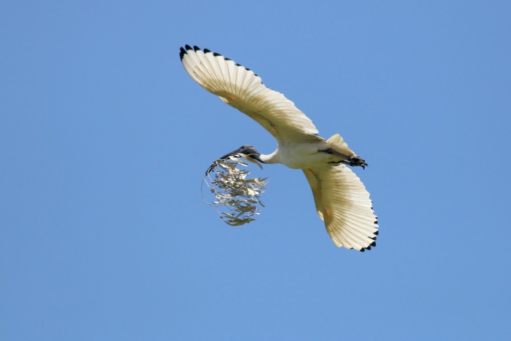 white bird carrying branch