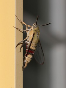 side view of hawkmoth