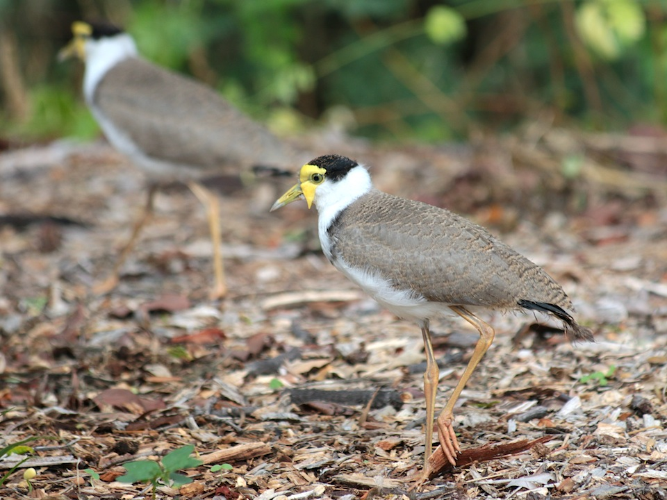 Plover or Masked Lapwing
