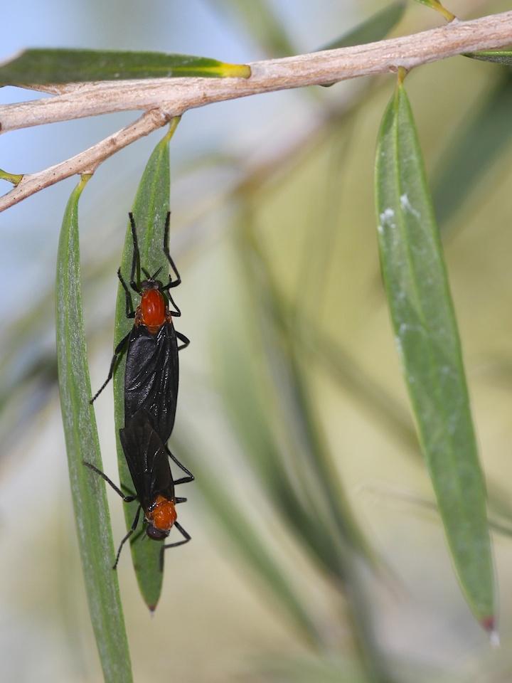black flies