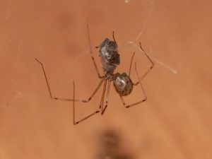 Daddy-longlegs and jumping spider