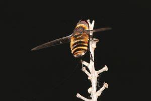 bee-fly