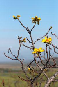yellow flowering tree