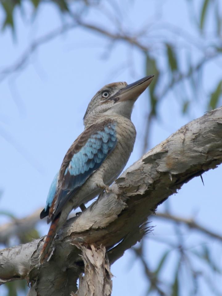 Blue-winged Kookaburra: