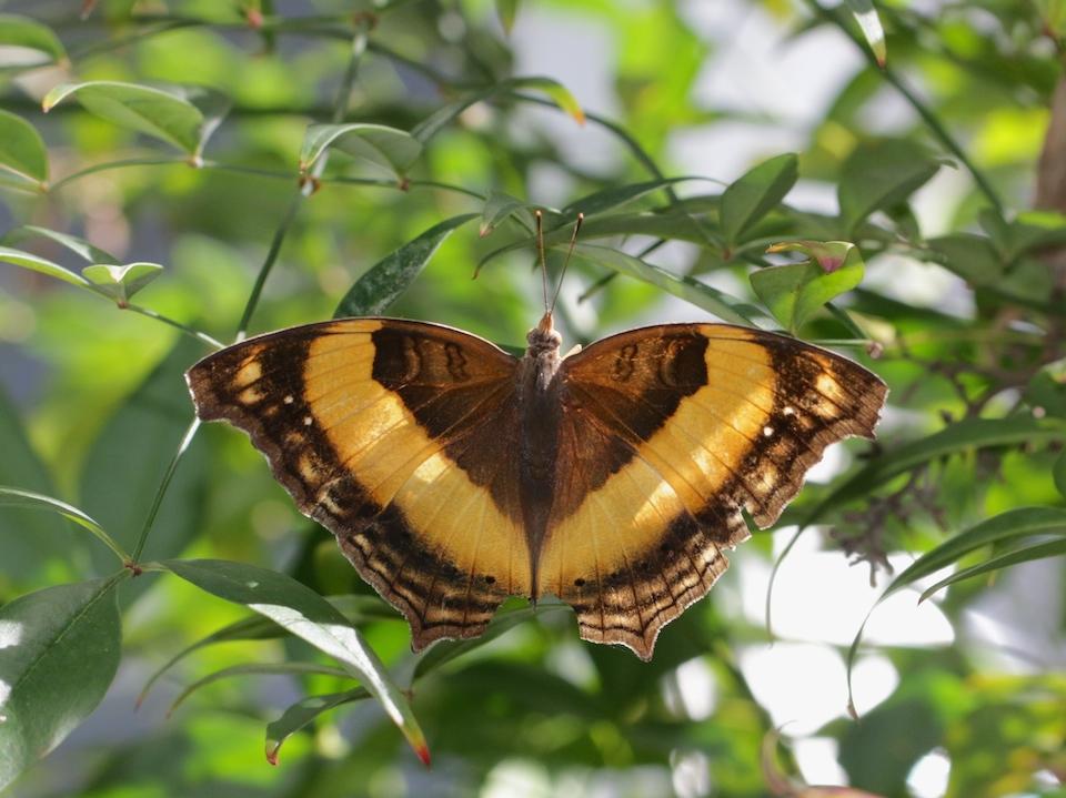 Lurcher butterfly