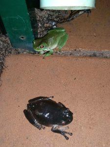 Black treefrog