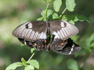 Orchard swallowtail mating