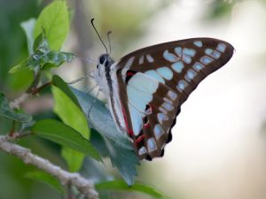 Pale Triangle butterfly