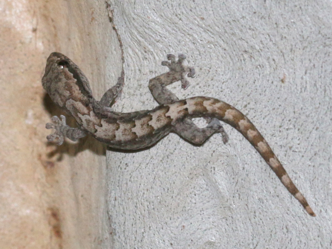 young morning gecko