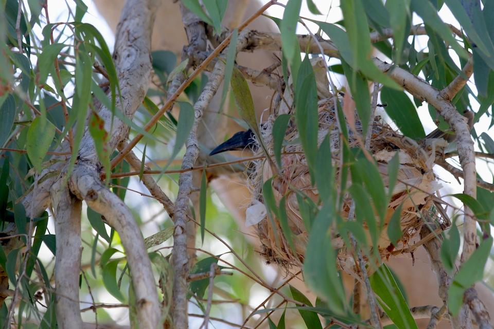 friarbird nest
