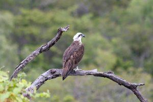 Osprey Pandion haliaetus cristatus