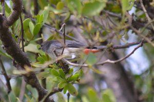 Mistletoebird Dicaeum hirundinaceum