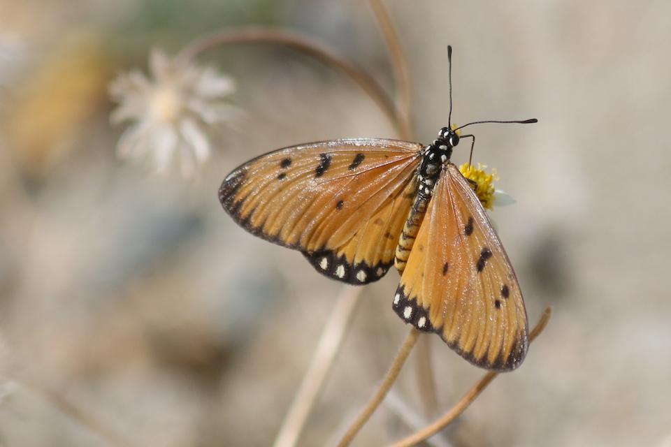 Tawny Coster, Acraea terpsicore,