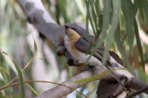 Leaden Flycatcher Myiagra rubecula