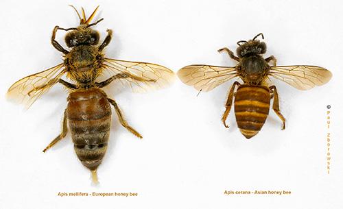 asian honey-bee