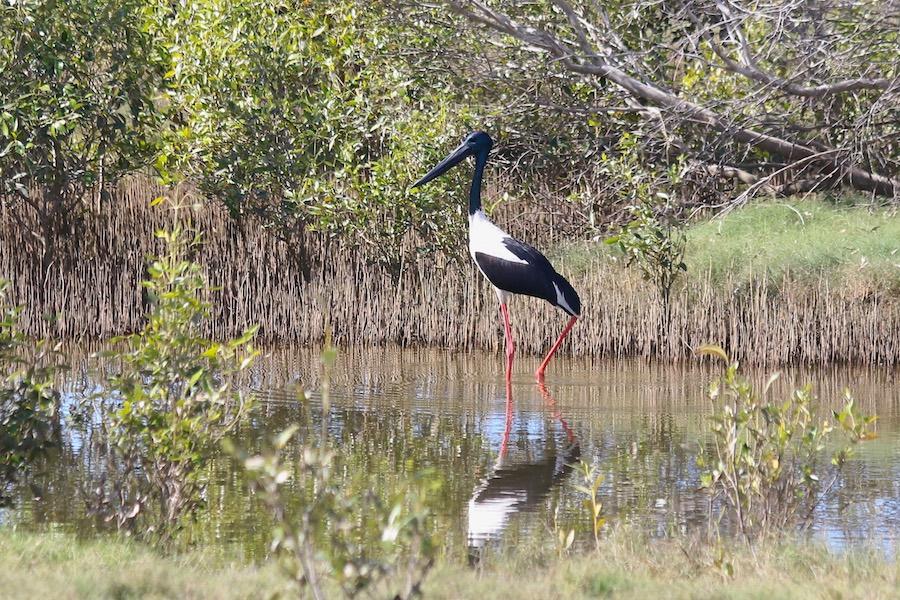 Black-necked Stork, Ephippiorhynchus asiaticus