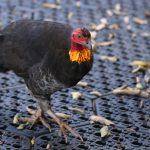 Scrub turkey, Paluma