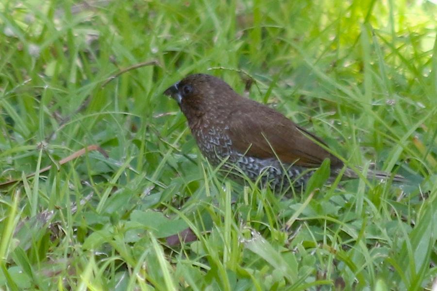 Spice Finch (Lonchura punctulata)