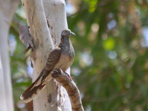 Bar-shouldered Dove Rollingstone