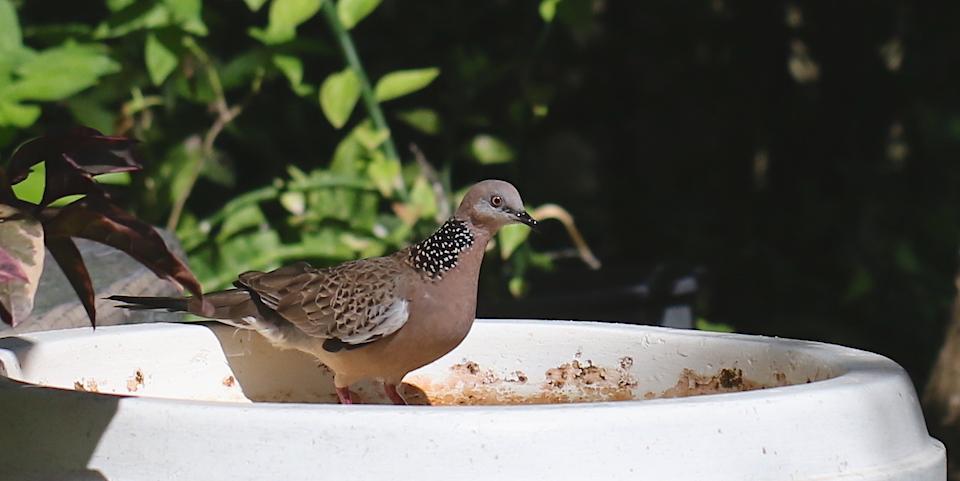 ringneck pigeon in dry birdbath