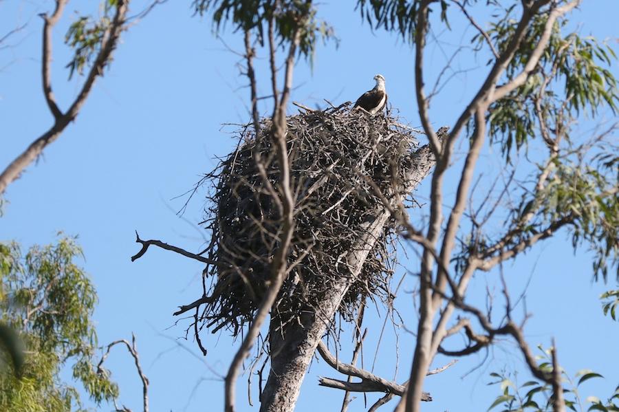 Osprey (Pandion cristatus)