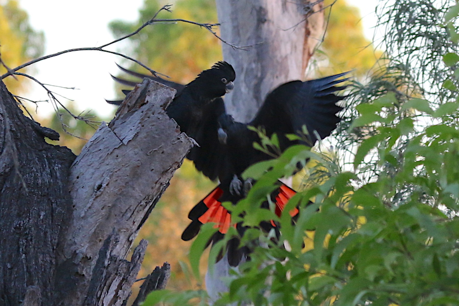 Black cockatoo adult and chick