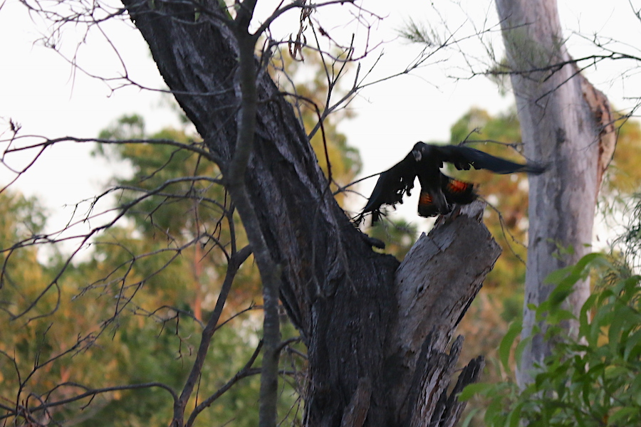 Black cockatoo chick