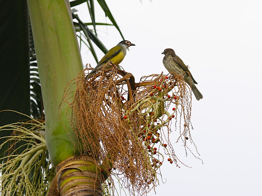 Australasian Figbirds