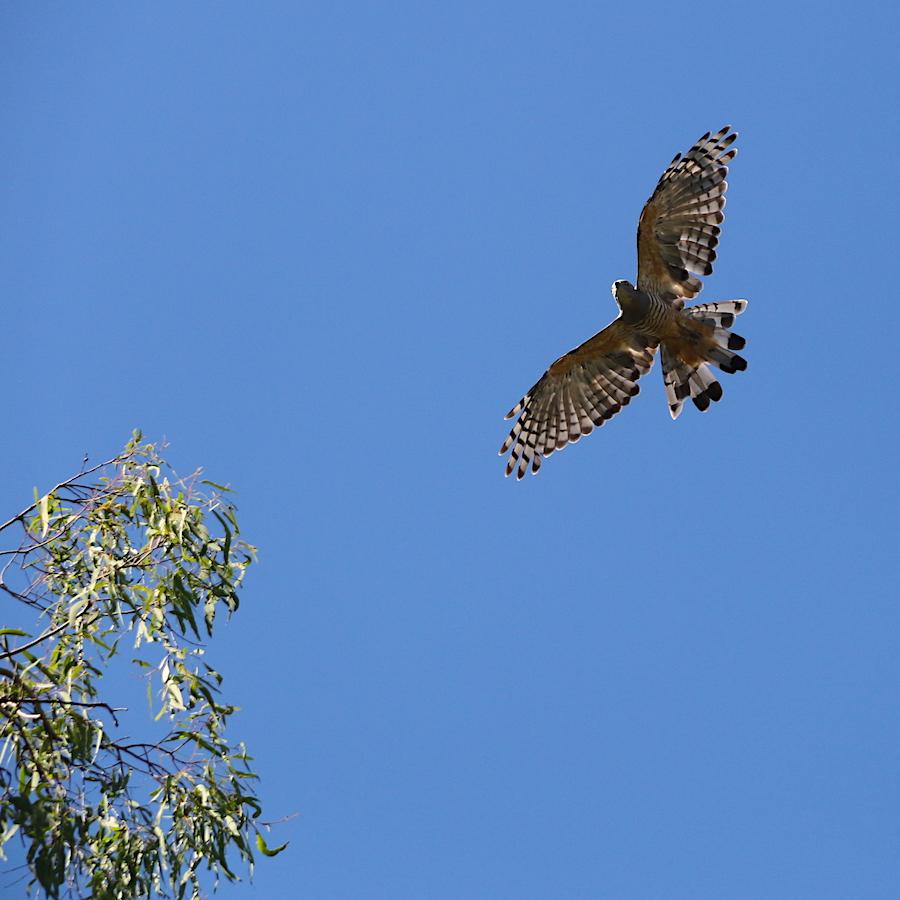Crested Hawk