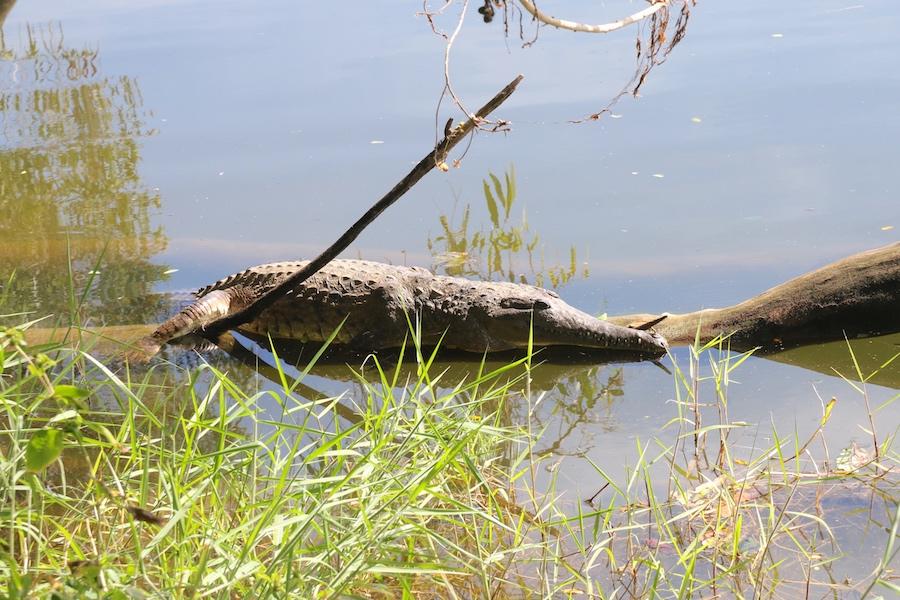 crocodile on log