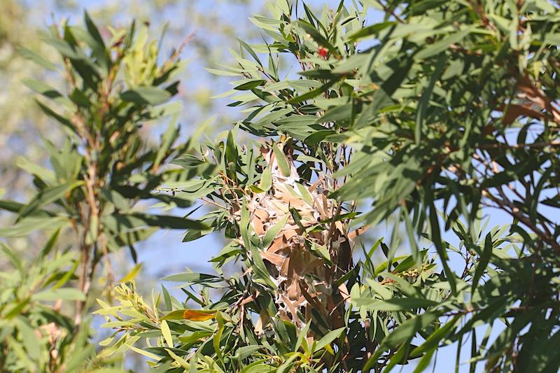 Green-ants' nest in bottlebrush