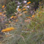 Grevillea pteridifolia
