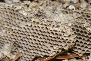 yellow paper wasp nest