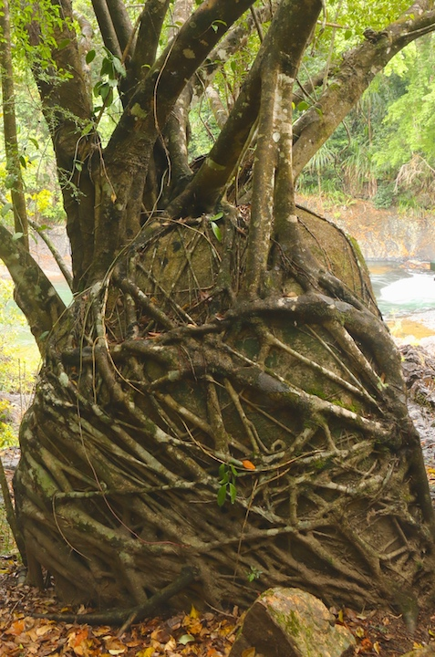 Tully River fig tree