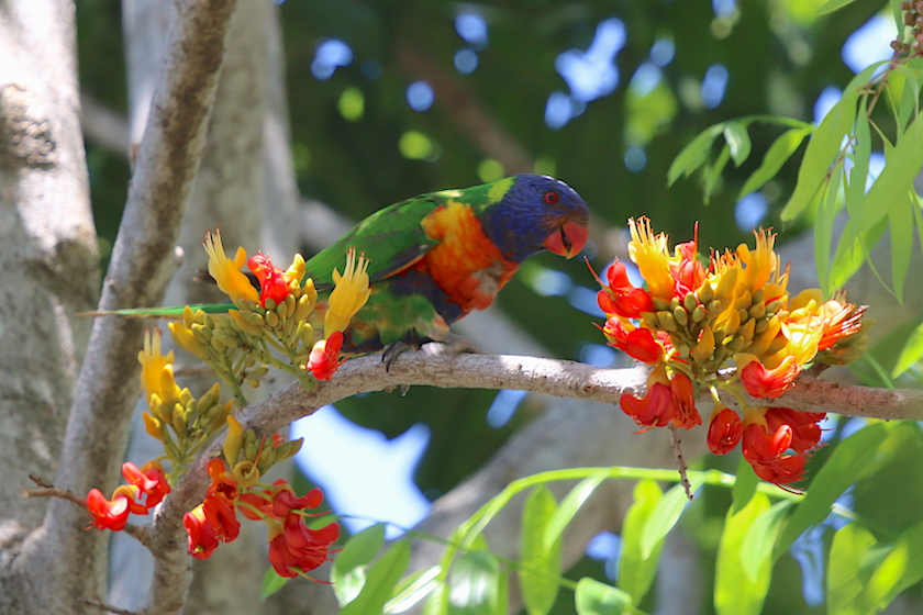 Black Bean flowers with Rainbow Lorikeet